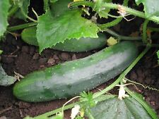 200 Organic Slicing Cucumber, Marketer, Vegetable Seeds GREAT For Salads /Snacks
