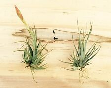 Tillandsia vernicosa hybrid air plant - small stature, easy care, gorgeous bloom