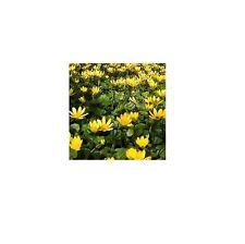 Napiers Ranunculus Ficaria (1kg) - Pilewort Rhizome