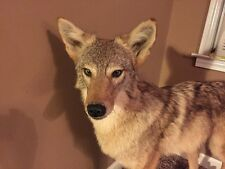 Coyote Full Body Mount On Driftwood - Unbelievable Work!!!