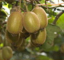 Kiwis Hayward, Kiwifruits -50 Seeds- Delicious Healthy Fruits in Your Gardens