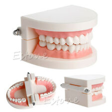 New Adult Standard Dental Teaching Study Typodont Demonstration Teeth Model