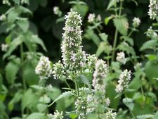 300 Graines herbe aux chats, Nepeta cataria , Catnip seeds
