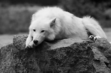 Framed Print - White Wolf Laying on a Large Rock (Picture Poster Animal Art)