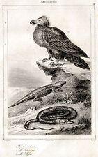 SARDEGNA: FAUNA: GIPETO,CONGILO E SERPE. ACCIAIO. Stampa Antica.Certificato.1839