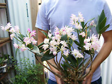 Australian Dendrobium Kingianum Orchid - Fragrant! Blooming Size Plant -1