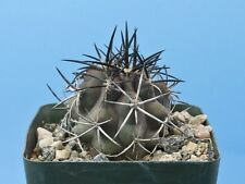 Copiapoa fiedleriana cactus Awesome brown/black/grey spines [Seed Grown] B68