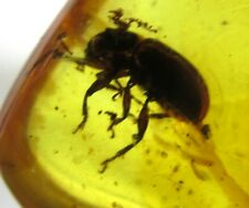Nice fossil amber with beetle  - Dominican Republic insect