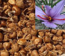 Saffron Bulbs 20 pcs crocus sativus flowers to get best spice organic corms 2016