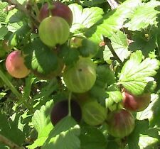 15 Pixwell Red Gooseberry Seeds