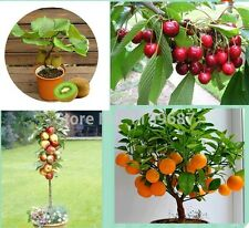 100 Combo  Bonsai Fruit Tree Seeds , Apple, Orange, Kiwi, Cherry Seeds Very Nice