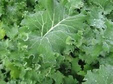 6,000 Seeds Premier Kale Seeds Vegetable Seeds BULK SEEDS