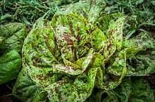 Certified Organic Freckles Romaine Lettuce Seeds (~600): Non-GMO Heirloom Packet