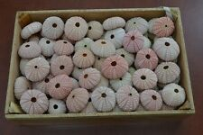 100 PCS BULK PINK SEA URCHINS SEA SHELL BEACH WEDDING NAUTICAL #7396
