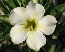 5 seeds Adenium,White, Khao Siam, Arabicum, Desert Rose