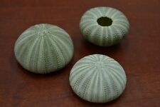 3 PCS GREEN SEA URCHINS SEA SHELL BEACH WEDDING NAUTICAL #7393