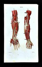 1867 Masse Human Anatomy Print - Radial Nerve Arm Hand Nervous System - Muscles