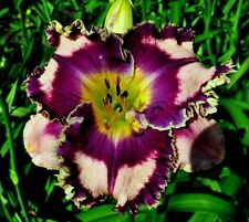 Daylily Seeds (Fantasy Fringe x Picassos Intrigue) (7) Seeds
