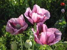 Pink Poppy Flower Seeds Papaver Somniferum 300+ Seeds