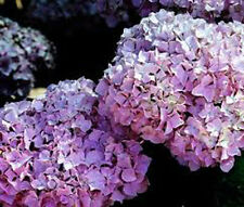 Hydrangea macrophylla 'All Summer Beauty'-Gallon Sized live Shrub Plant