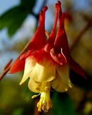 * COLUMBINE EASTERN RED * RED AND YELLOW BICOLOR*** 25 SEEDS