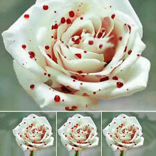 50pcs White Drop of blood Rose Seeds Magical Flowers Plant  Gardening Plants