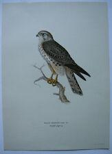 Falke MERLIN falco falco aesalon ORIG chromolithografie Wright 1927 ornitologica