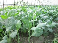 Chinese kale Vegetable seed 200 seeds Brassica alboglabra Bailey patio garden
