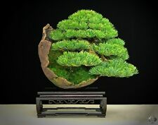 Bonsai Seeds - Japanese Red Pine Tree , Pinus Densiflora Seeds