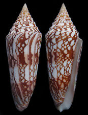 Conchiglia Shell CONUS MILNEEDWARDSI CLYTOSPIRA India 135,6 mm # 1°