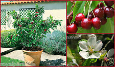 "5 Seeds Dwarf Sweet Garden Bing Cherry ""Prunus avium"" Seeds"