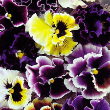 30 Colored Pansy Seeds Viola Tricolor Herb Trinity Garden Flowers A090