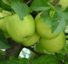 Granny Smith Apple Trees -5 Seeds- Harvest Green & Crisp Apples in Your Backyard