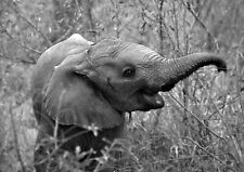 Incorniciato stampa -- BLACK & WHITE ELEFANTE (Picture Selvatico Africano Animal Art)