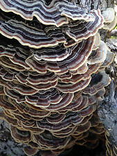 TURKEY TAIL MUSHROOM Trametes versicolor herb tea medicinal fresh dried clou 1oz