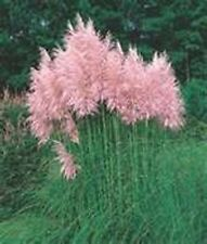 Pampas Grass Pink- 100 Seeds - 50 % off sale