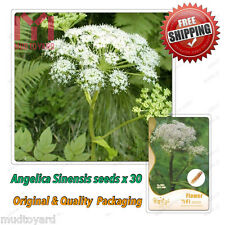 30 x Angelica sinensis seeds Dang Gui Female Ginseng Chinese Medical Herb Grow
