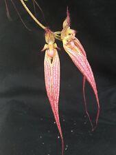 Bulbophyllum Doris Dukes 6 Bulb Potted Divisions Actual Flowers (X)