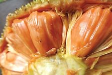 Dwarf Rare Red Jackfruit/High Yeilding/  1 live plant |Grafted|High Sweetness