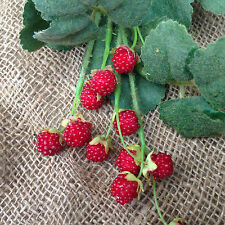 Artificial Raspberries spray 3 stems £9.99