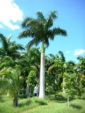 ROYSTONEA REGIA - Royal Palm Tree - 10 Exotic Seeds