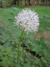 WHITE BANEBERRY * DOLL'S EYES * Actaea pachypoda * NA WILDFLOWER * SEEDS