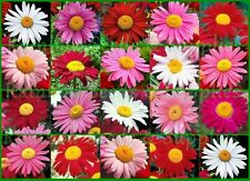 1000+ Painted Daisy Seeds Perennial Cut-Flowers Pink Red Mid-Summer Mix 3.2gram