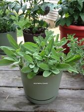 50 Broadleaf Sage, Herb Seeds. Premium USA Heirloom Seeds.