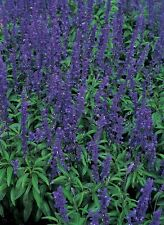 Salvia Blue Bedder Seeds Perennial Flowers All Summer Evergreen Cut Flower