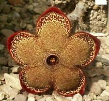 Edithcolea grandis Wamba Road, Kenya - 5 seeds -not Larryleachia, Stapelia