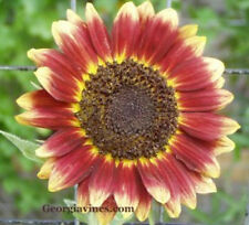 SUNFLOWER Florenza 10 seeds