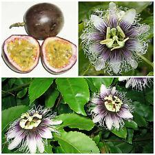 10 graines de Passiflora edulis f. edulis , maracuja, fruit de la passion,  F