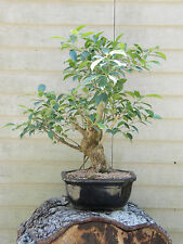 OLD  Ficus Bonsai Tree  Flowers # 5587