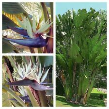STRELITZIA NICOLAI - Tropical White Giant Bird Of Paradise - 10 Fresh Seeds